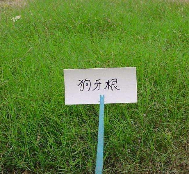 狗牙根草坪