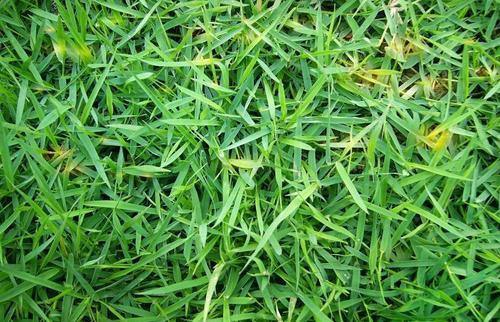 结缕草坪价格