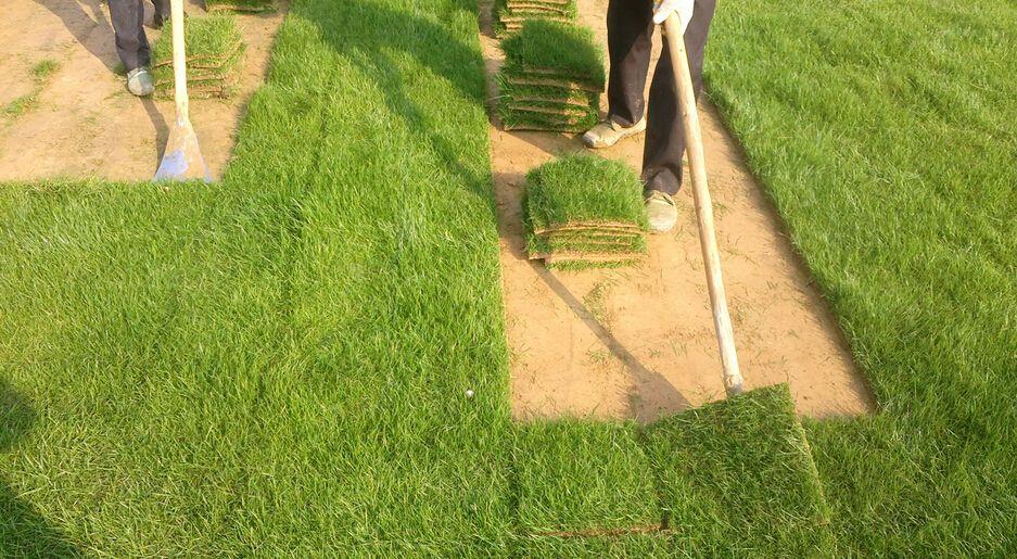 百慕大草坪该如何养护