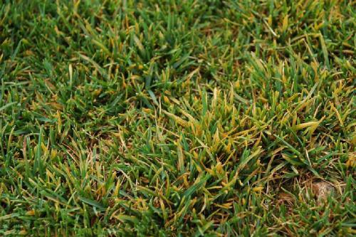 草坪发黄是什么导致的