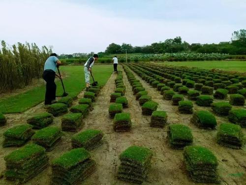 句容草坪种植技术
