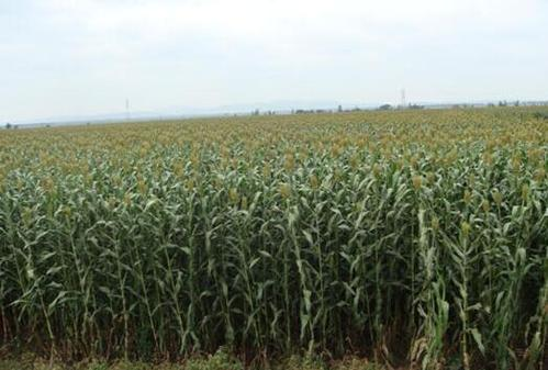 甜高粱牧草种植技术