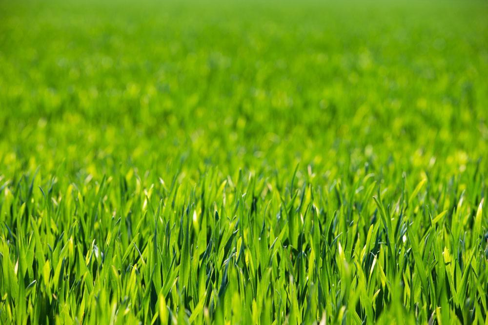 黑麦草种植时间