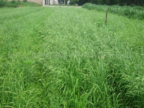 黑麦种子多少钱一斤