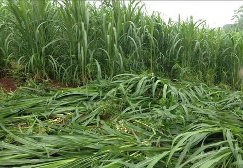 甜象草和皇竹草