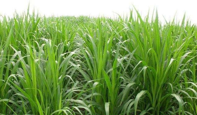 甜高粱牧草产量
