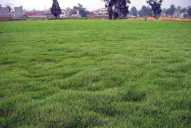 防治草坪病害