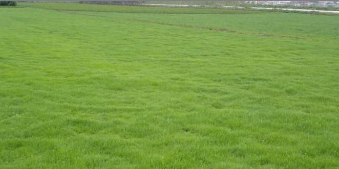 草坪白粉病的防治方法