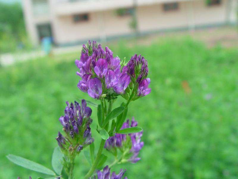 蔓生花生草坪栽培养护技术