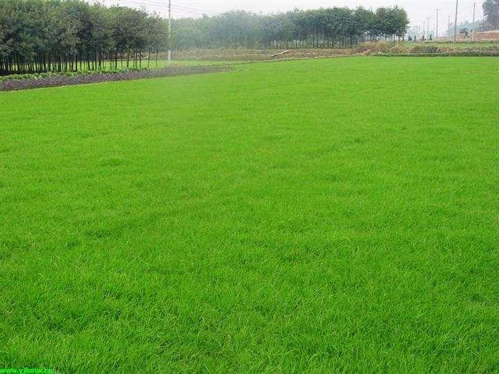 草坪的培植与管理