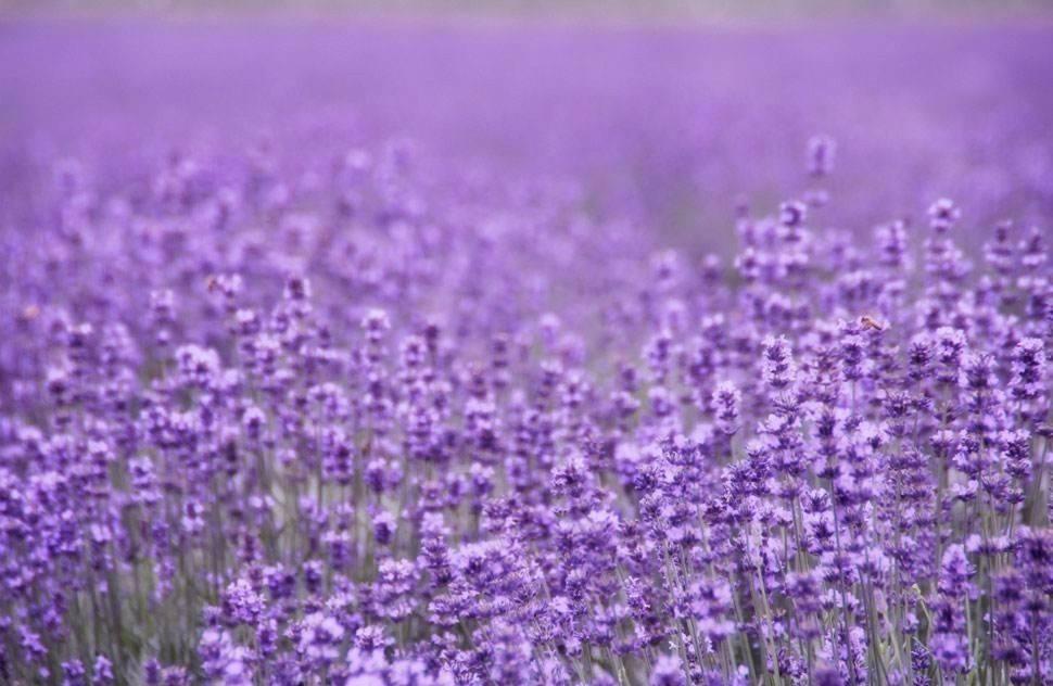 薰衣草什么时候开花